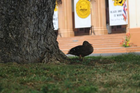 A duck rests on the oval while graduation day begins.